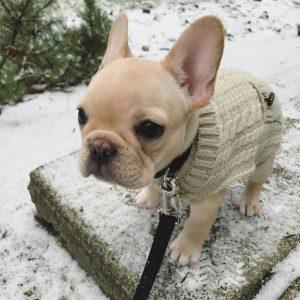 franse-bulldog-pup-trui